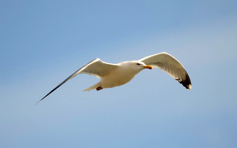 Image: A seagull in flight.