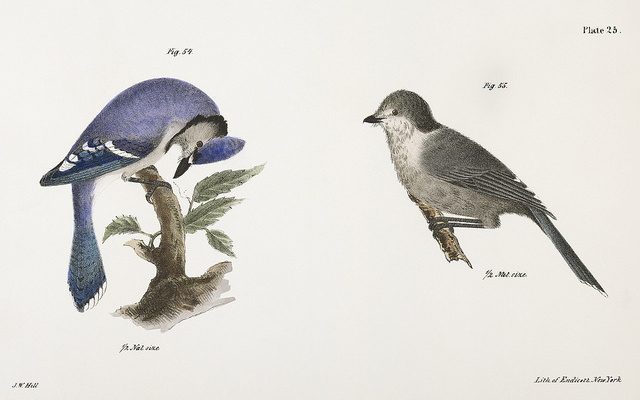 Image: Illustrations of a bluejay.