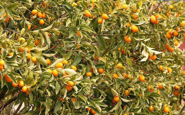 Image: A Kumquat tree with fruit.