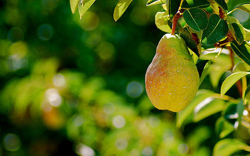 Pictured: A pear hanging from a tree.