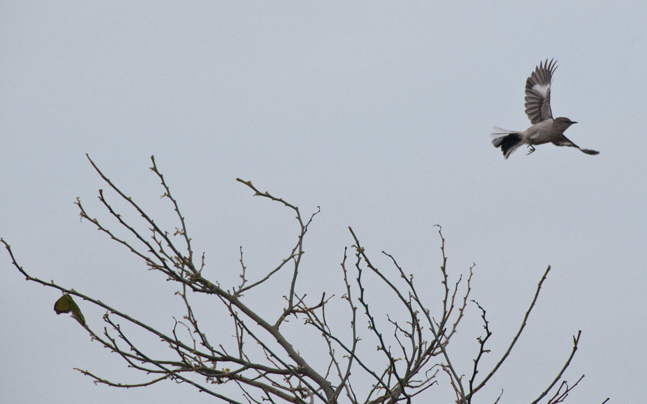 A photo of a song bird flying over tree branches with no leaves
