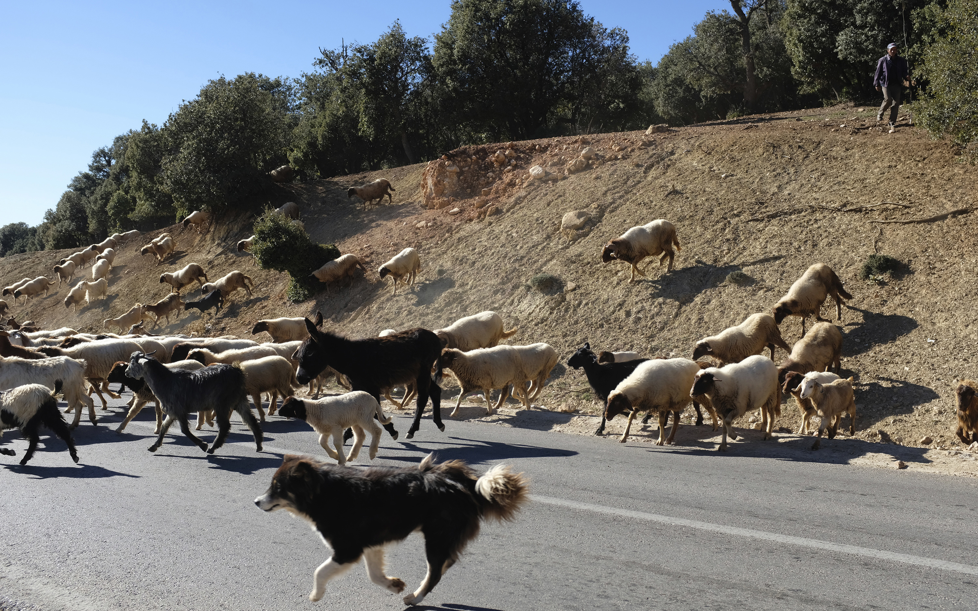 Sheep Crossing Highway 2: Atlas Mountains, Morocco